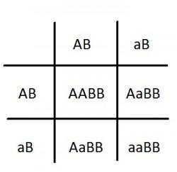 krzyzowka AaBb 2