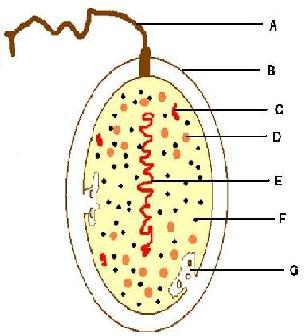 bakteria komórka
