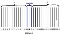 fazy cyklu