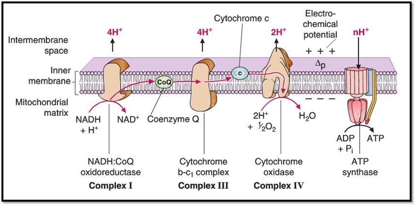 kompleksy białkowe łancucha oddechowego